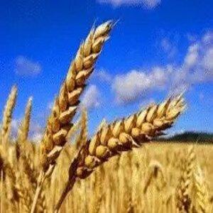 ما هو نبات القمح فوائد نبات القمح